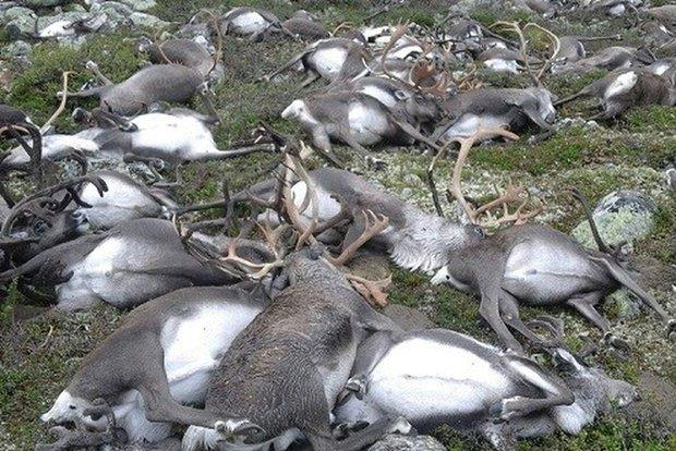 Na Uy: 323 con tuần lộc chết tập thể vì bị sét đánh - Ảnh 1.
