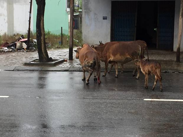 Clip chú bò bị chặt chân lê bước trên đường khiến cư dân mạng xót xa - Ảnh 3.