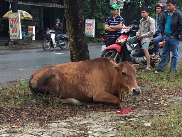 Clip chú bò bị chặt chân lê bước trên đường khiến cư dân mạng xót xa - Ảnh 4.