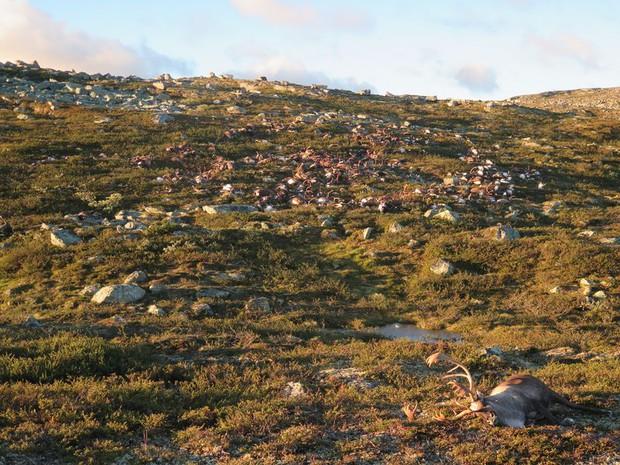 Na Uy: 323 con tuần lộc chết tập thể vì bị sét đánh - Ảnh 2.