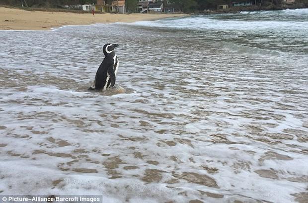 Những hình ảnh mới nhất về chú chim cánh cụt vượt 8.000km đường biển trở về thăm ân nhân - Ảnh 3.