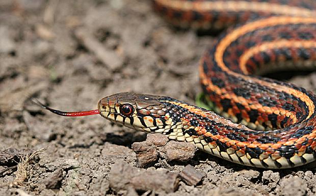 Đây chính là lý do vì sao loài rắn không có chân - Ảnh 1.