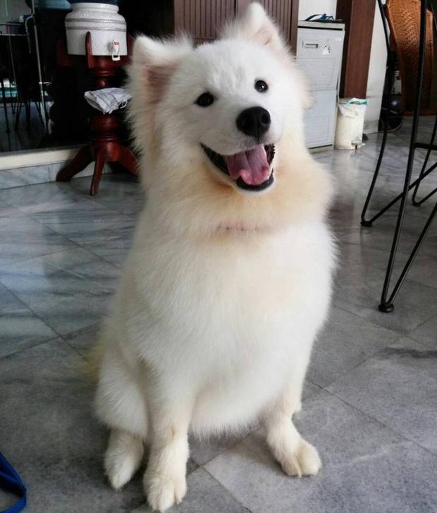 18 minh chứng vì sao Samoyed là hoa hậu thân thiện của loài chó - Ảnh 2.