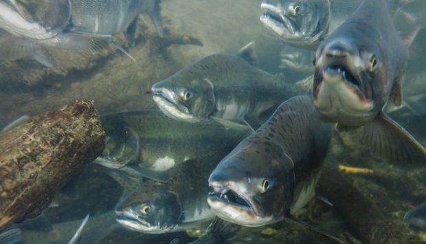 Cá hồi nuôi và cá hồi tự nhiên: loại nào mới thực sự tốt? - Ảnh 6.