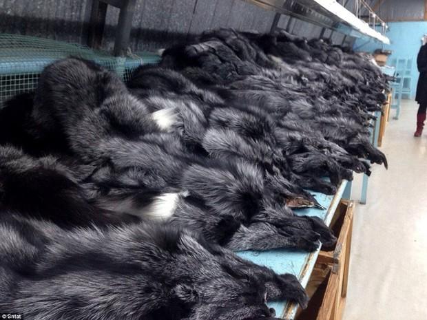 Địa ngục trần gian của những con thú bị lột da sống lấy lông - Ảnh 6.