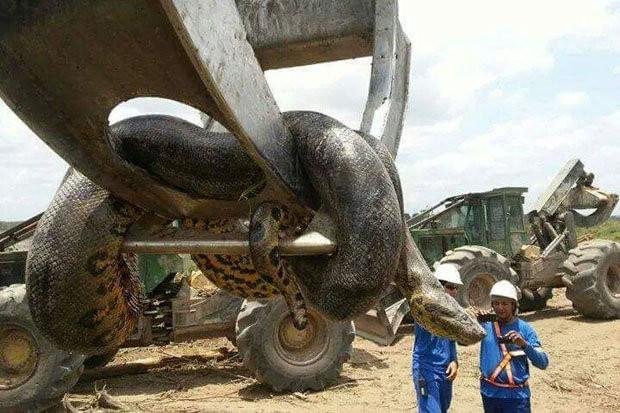 Phát hiện con trăn lớn nhất hành tinh ở Brazil - Ảnh 2.