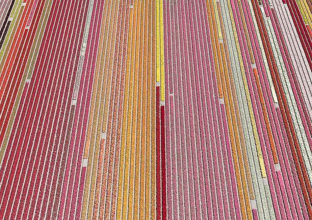 Bộ ảnh này sẽ cho bạn biết vì sao những cánh đồng tulip khiến cho vạn người mê - Ảnh 5.