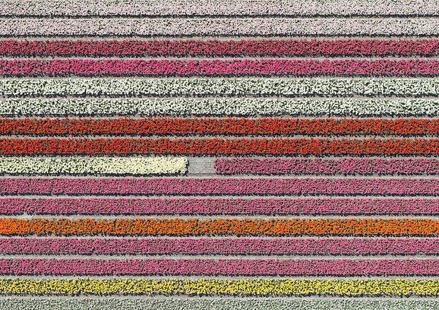 Bộ ảnh này sẽ cho bạn biết vì sao những cánh đồng tulip khiến cho vạn người mê - Ảnh 1.