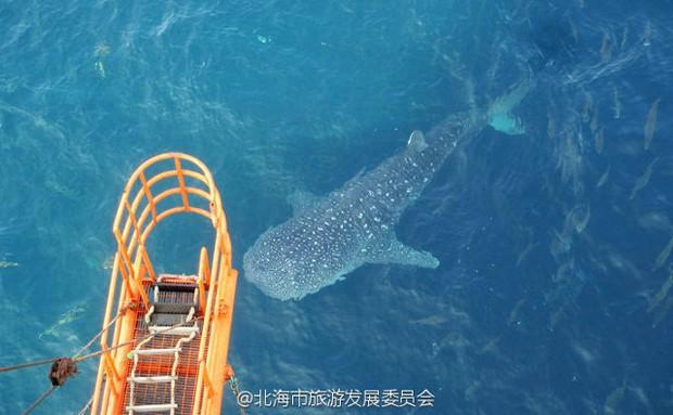 Số phận bi thảm của chú cá mập voi xinh đẹp tại Trung Quốc khiến dư luận thế giới phẫn nộ - Ảnh 1.