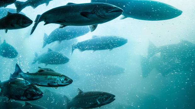 Hãy nghĩ cho thật kỹ trước khi định ăn cá hồi sống, bởi vì... - Ảnh 4.