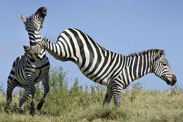 Lộ diện loài ngựa vô dụng nhất thế giới: Ngựa vằn! - Ảnh 2.