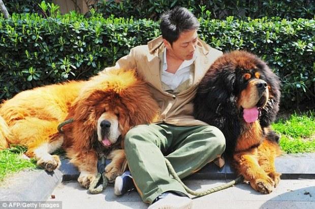 Trung Quốc: Bị giới thượng lưu thất sủng, chó ngao vô gia cư đang ngày một gia tăng - Ảnh 2.