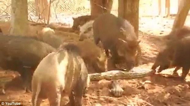Con trăn khổng lồ bị đàn lợn giận dữ xé tan xác thành từng mảnh nhỏ để trả thù - Ảnh 2.