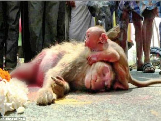 Video: Khỉ con ôm xác mẹ không rời khiến con người cũng không cầm được nước mắt - Ảnh 2.