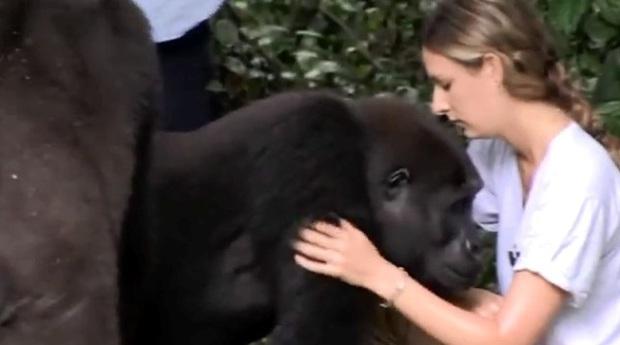 Video: Hai chú khỉ đột vẫn nhận ra ân nhân sau hơn 12 năm xa cách - Ảnh 2.
