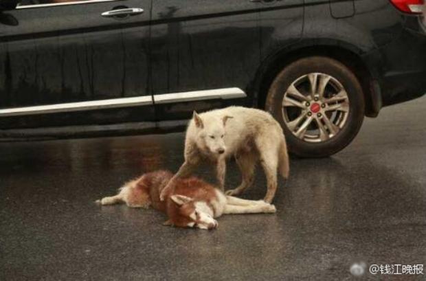 Chú chó tình nghĩa ra sức bảo vệ và lay người bạn đã chết dậy - Ảnh 1.