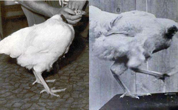 Chú gà không đầu vẫn sống 18 tháng: câu chuyện thật mà đến tận giờ vẫn chẳng mấy người tin - Ảnh 1.