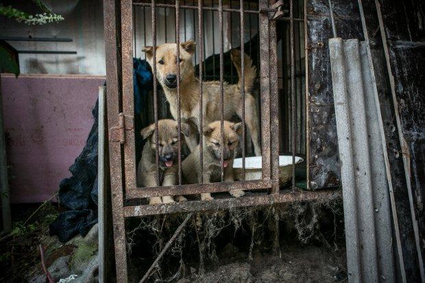 Hàn Quốc: Giải cứu thành công 149 chú chó sắp bị giết thịt mang ra chợ bán - Ảnh 1.