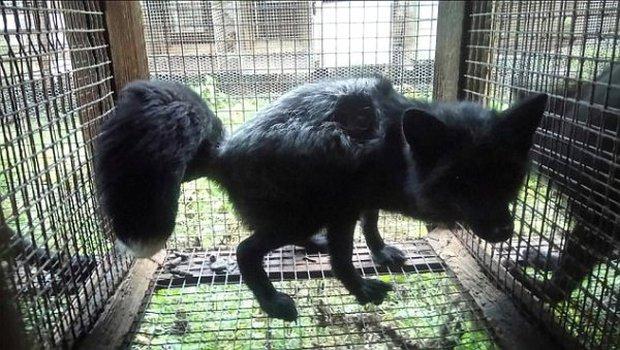 Thảm cảnh bên trong trang trại sản xuất lông thú, nơi hàng nghìn con vật phải ăn thịt lẫn nhau để sinh tồn - Ảnh 2.