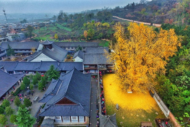 Thảm lá vàng đẹp đến nao lòng dưới gốc cây ngân hạnh nghìn năm tuổi thu hút tới 70.000 du khách/ngày - Ảnh 1.