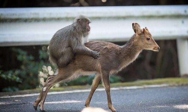 Chuyện quái đản nhất của tự nhiên: Loài khỉ Nhật Bản đang có thói quen làm chuyện ấy với... hươu - Ảnh 1.