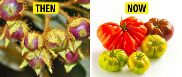 Tổ tiên của các loại rau quả mà ta vẫn ăn ngày nay trông như thế nào? - Ảnh 7.