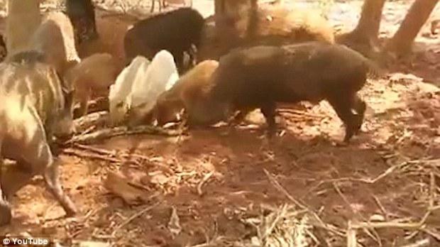 Con trăn khổng lồ bị đàn lợn giận dữ xé tan xác thành từng mảnh nhỏ để trả thù - Ảnh 3.