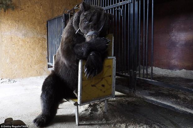 Chùm ảnh: Phía sau ánh đèn sân khấu là nỗi buồn của 2 chú gấu xiếc bị bỏ rơi - Ảnh 3.