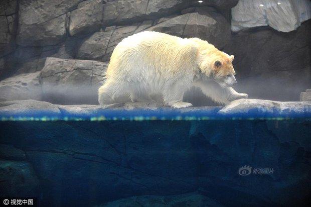 Không tin nổi ở Trung Quốc người ta tranh nhau chi tới 3 triệu đồng để được đi hót phân cho Gấu Bắc Cực - Ảnh 2.