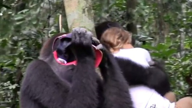 Video: Hai chú khỉ đột vẫn nhận ra ân nhân sau hơn 12 năm xa cách - Ảnh 3.