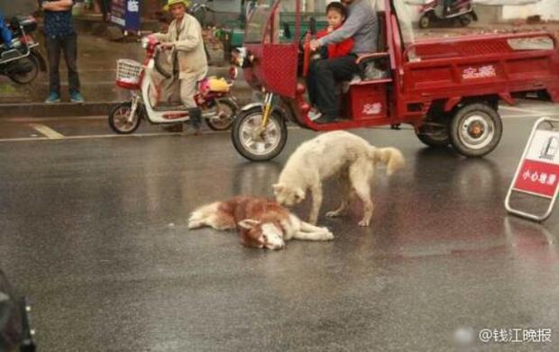 Chú chó tình nghĩa ra sức bảo vệ và lay người bạn đã chết dậy - Ảnh 3.