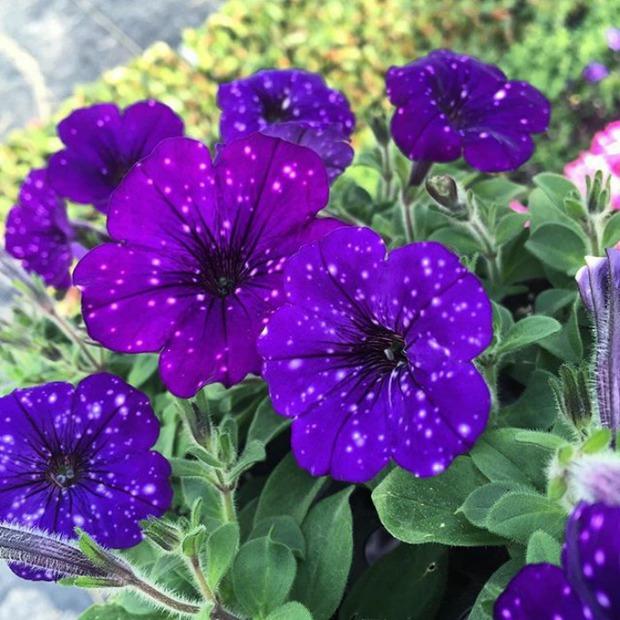 Loài hoa vi diệu như chứa cả dải thiên hà lung linh ở trong đó - Ảnh 3.