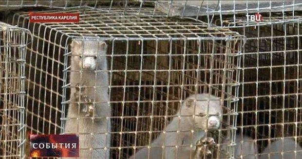 Thảm cảnh bên trong trang trại sản xuất lông thú, nơi hàng nghìn con vật phải ăn thịt lẫn nhau để sinh tồn - Ảnh 3.
