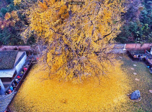 Thảm lá vàng đẹp đến nao lòng dưới gốc cây ngân hạnh nghìn năm tuổi thu hút tới 70.000 du khách/ngày - Ảnh 3.