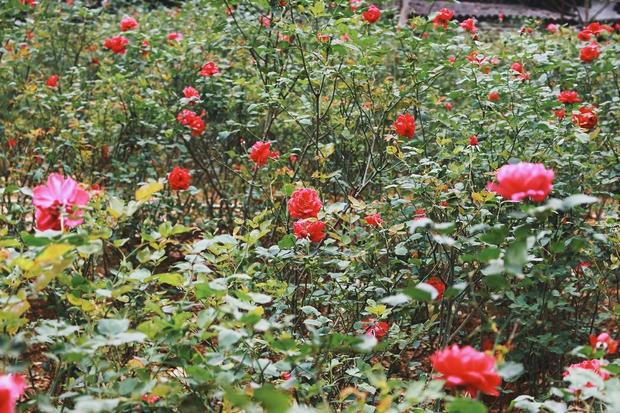 Con đường khởi nghiệp với 20.000 gốc hoa hồng sạch của nữ luật sư Hà Nội - Ảnh 7.