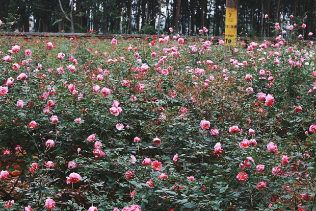 Con đường khởi nghiệp với 20.000 gốc hoa hồng sạch của nữ luật sư Hà Nội - Ảnh 1.