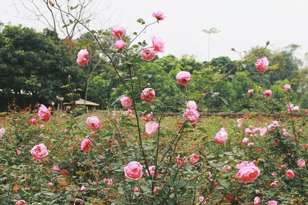 Con đường khởi nghiệp với 20.000 gốc hoa hồng sạch của nữ luật sư Hà Nội - Ảnh 5.