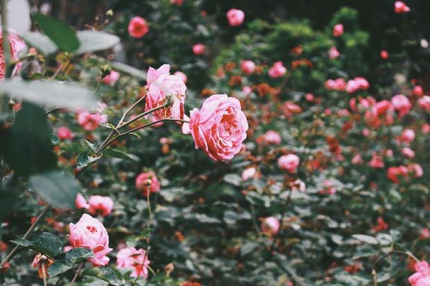 Con đường khởi nghiệp với 20.000 gốc hoa hồng sạch của nữ luật sư Hà Nội - Ảnh 9.