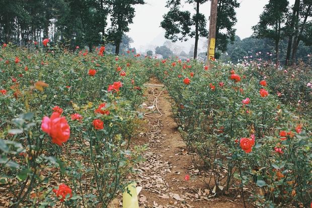 Con đường khởi nghiệp với 20.000 gốc hoa hồng sạch của nữ luật sư Hà Nội - Ảnh 3.