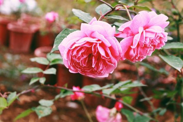 Con đường khởi nghiệp với 20.000 gốc hoa hồng sạch của nữ luật sư Hà Nội - Ảnh 8.