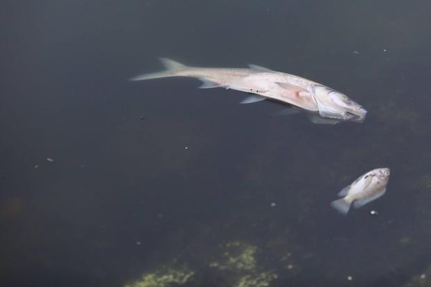 Hà Nội: Cá chết nổi trắng mặt hồ Hoàng Cầu - Ảnh 9.