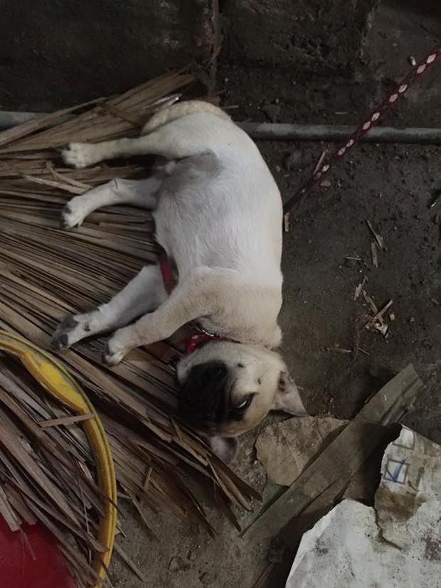 Clip: Chú chó Pit bull chỉ biết ăn với ngủ ngáy, không biết trông nhà và sợ tất cả chó hàng xóm - Ảnh 7.