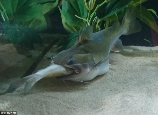 Sự thật quái vật cá lớn nuốt cá bé đang xôn xao cư dân mạng - Ảnh 4.