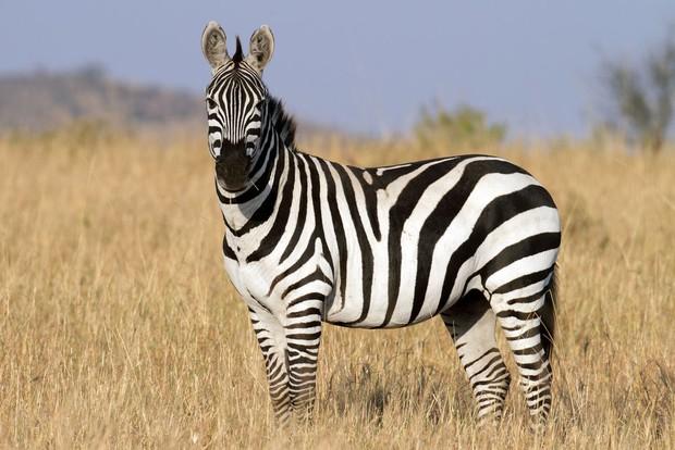 Đố bạn: Ngựa vằn là trắng sọc đen hay đen sọc trắng? - Ảnh 3.