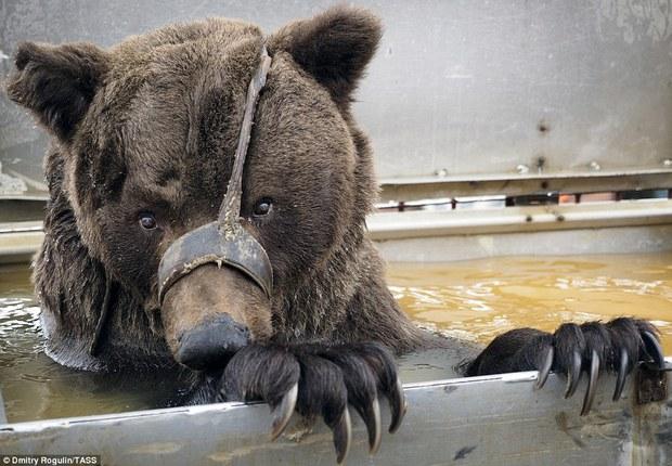 Chùm ảnh: Phía sau ánh đèn sân khấu là nỗi buồn của 2 chú gấu xiếc bị bỏ rơi - Ảnh 5.
