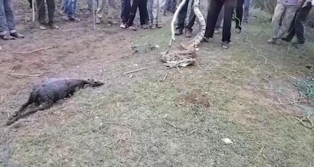 Video: Trăn khổng lồ nuốt chửng một con dê trưởng thành trước sự kinh hãi của dân làng - Ảnh 4.