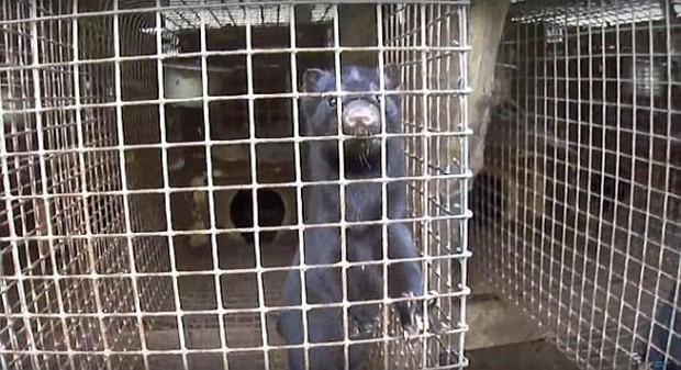 Thảm cảnh bên trong trang trại sản xuất lông thú, nơi hàng nghìn con vật phải ăn thịt lẫn nhau để sinh tồn - Ảnh 4.