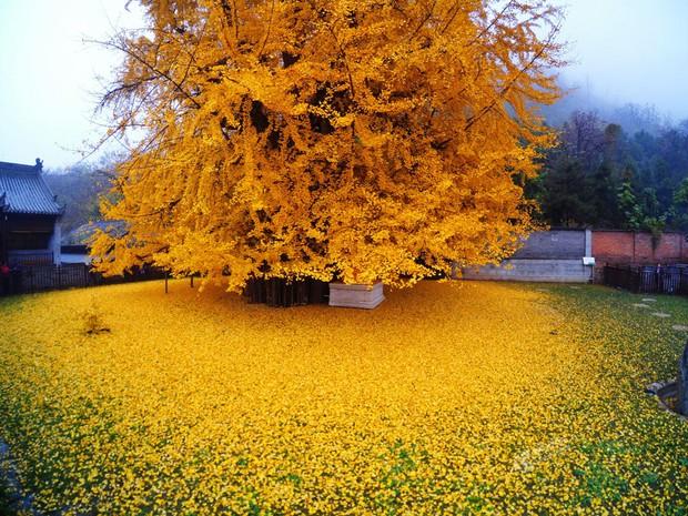 Thảm lá vàng đẹp đến nao lòng dưới gốc cây ngân hạnh nghìn năm tuổi thu hút tới 70.000 du khách/ngày - Ảnh 4.