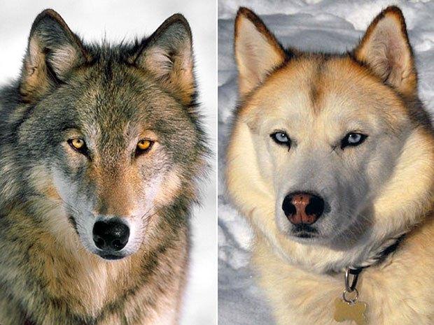 Bạn không bao giờ thấy chó sói trong rạp xiếc và lý do bất ngờ đằng sau - Ảnh 4.