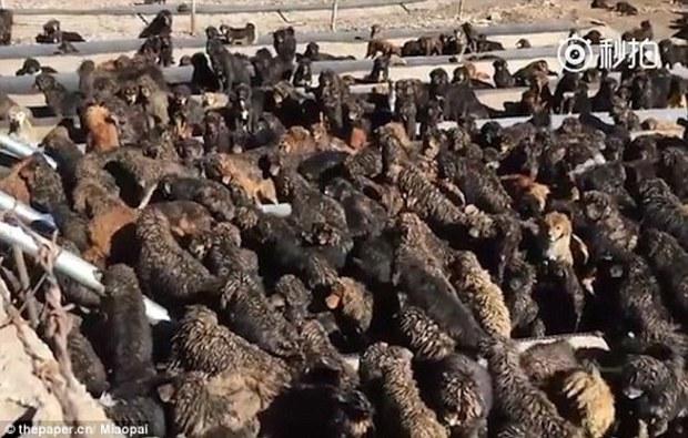 Trung Quốc: Bị giới thượng lưu thất sủng, chó ngao vô gia cư đang ngày một gia tăng - Ảnh 5.